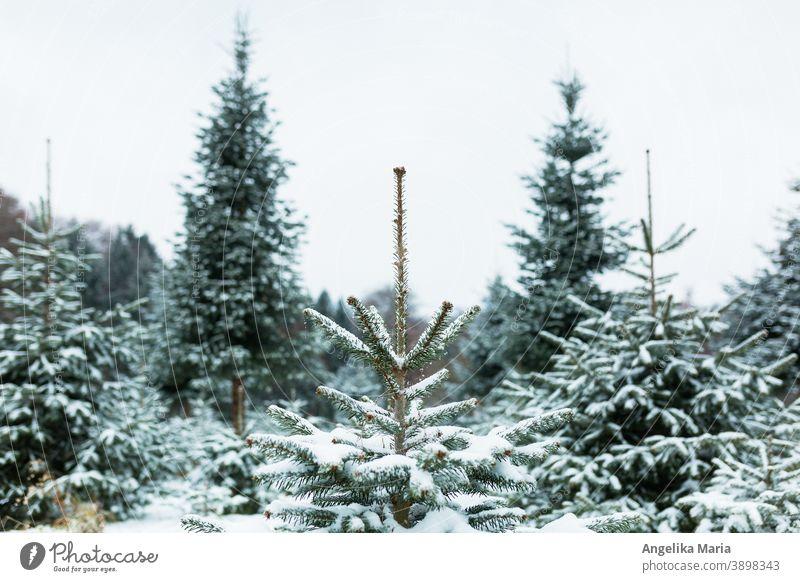 Frisch verschneite Weihnachtsbaum-Anlage in Mitteleuropa mit Nordmanntannen, eine Tanne in der Mitte im Fokus, im Hintergrund Tannenbäume in der Unschärfe