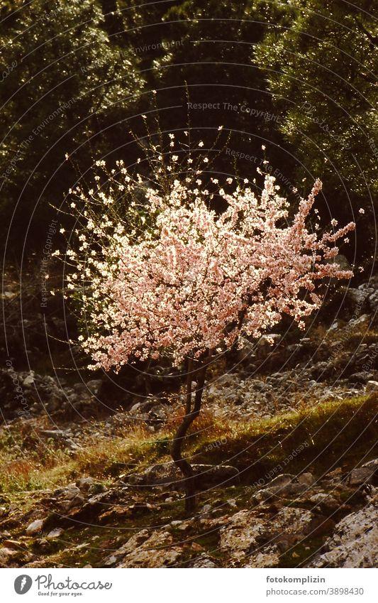 weiß rosa blühendes Bäumchen Blühend weiß blühen Blüten natürliche Schönheit Natur Frühling Frühlingsboten bluete wachsen frühlingszeit baum leben Hoffnung
