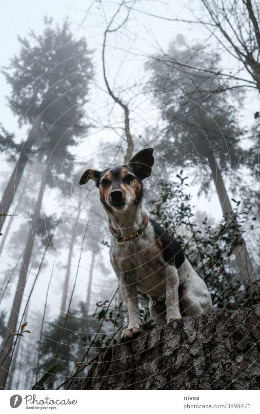 Jack Russel Terrier sitzt auf einem Baumstamm Jack-Russell-Terrier jack russell Hund baumstämme sitzen Wald Herbst Halsband Haustier Tier braun niedlich