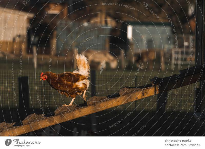 Freilaufendes Huhn läuft abwärts auf Hühnerleiter freilaufend Freilandhaltung Biologische Landwirtschaft biologisch Nutztier Bioprodukte Bauernhof Haushuhn Tier