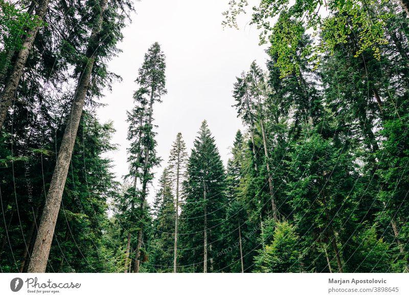 Blick auf die Kiefernwipfel bei Tageslicht Abenteuer Hintergrund schön Ast Umwelt Immergrün erkunden Tanne Laubwerk Wald Wachstum hoch Landschaft Blatt Licht