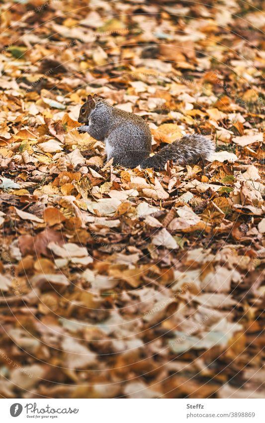 Eichhörnchen getarnt im Herbstlaub auf einer Herbstwiese November Novemberblätter Herbstblätter verspielt Herbstwärme Momentaufnahme Herbstbild