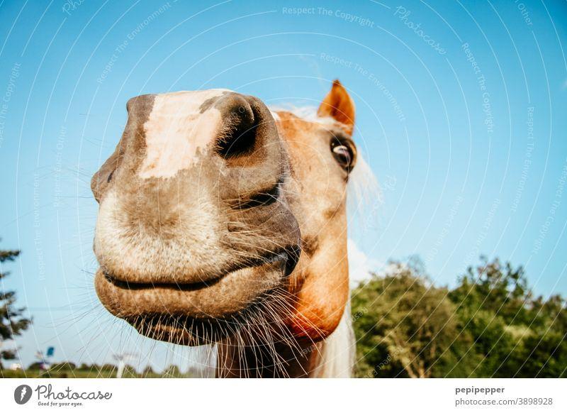 of course my horse Pferd lachen lustig Außenaufnahme Tierporträt Freude Maul Schnauze Farbfoto Tiergesicht Nahaufnahme Nase Nüstern Säugetier Menschenleer