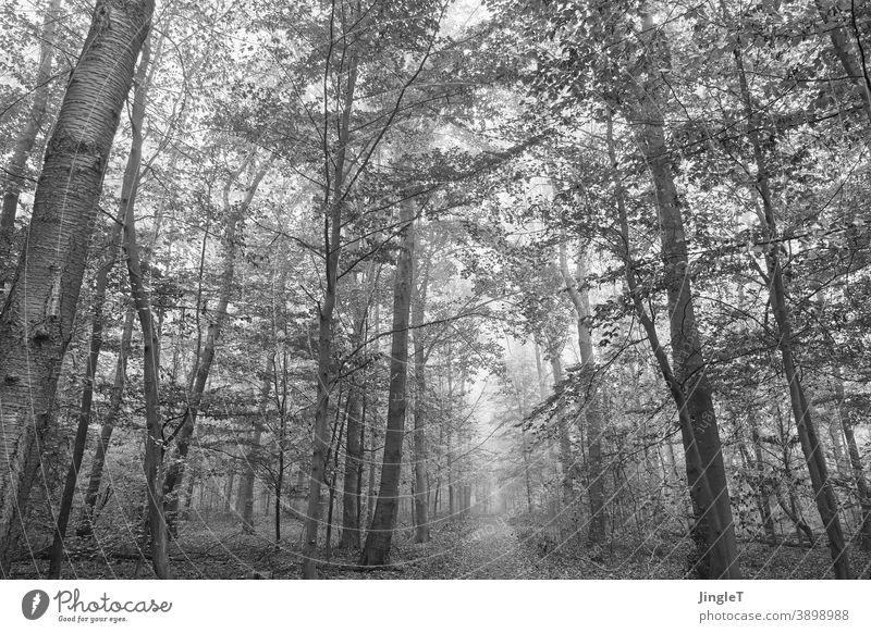Waldnebel Nebel Nebelstimmung schwarzweiß Schwarzweißfotografie Bäume Äste Himmel Blätter Herbst herbstlich grau Wege & Pfade Querformat Tiefenschärfe