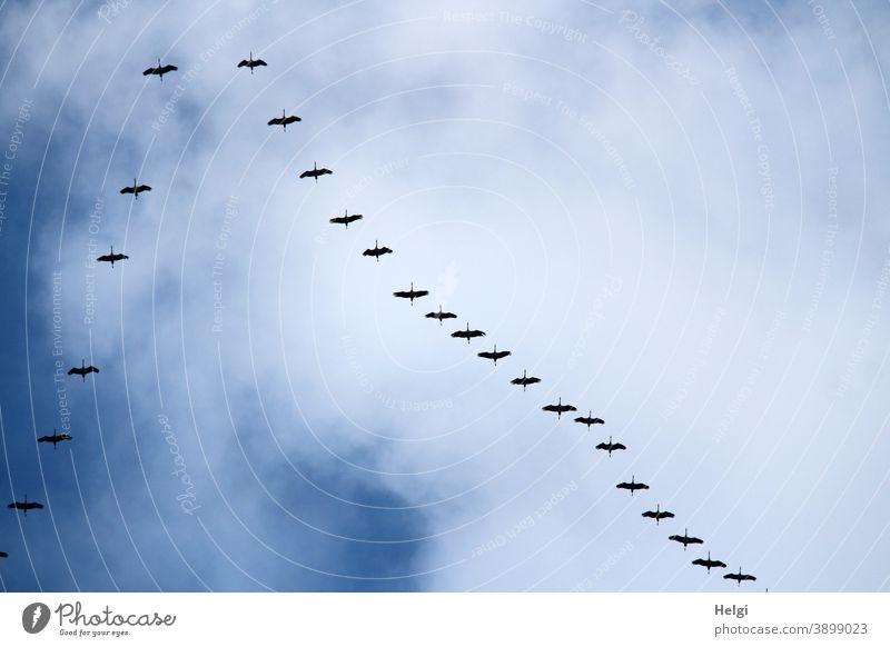 Formationsflug der Kraniche am blauen Himmel mit Wolken Vögel Zugvögel Vogelzug Herbst fliegen Natur Außenaufnahme Freiheit Wildtier Zugvogel Tiergruppe