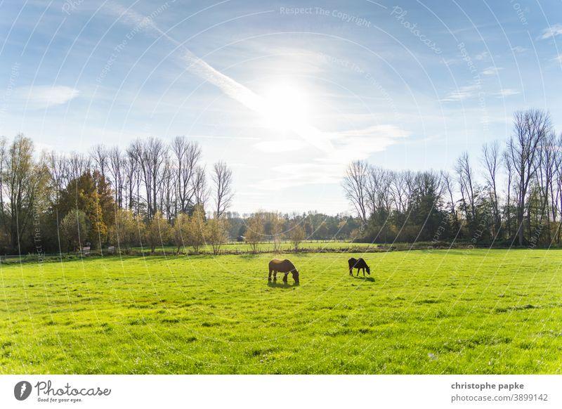 Pferde auf Weide in Gegenlicht Koppel Wiese Fressen Tier Gras Natur Landschaft Menschenleer grün Feld Sonnenlicht Umwelt braun Sommer grasen Landwirtschaft