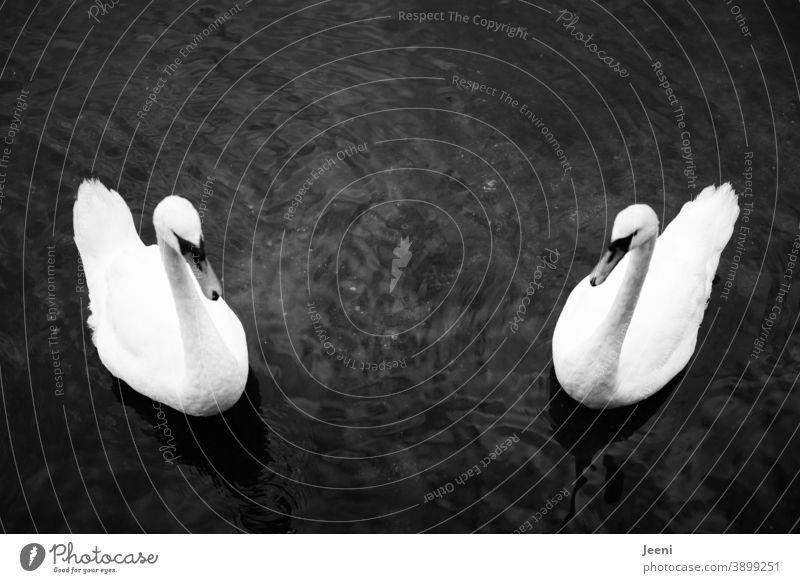 Zwei Schwäne symmetrisch schwimmend im Wasser Schwan Symmetrie Im Wasser treiben See Meer Ostsee Ufer Küste von oben Vogel weiß Feder Tier Natur schön Schnabel