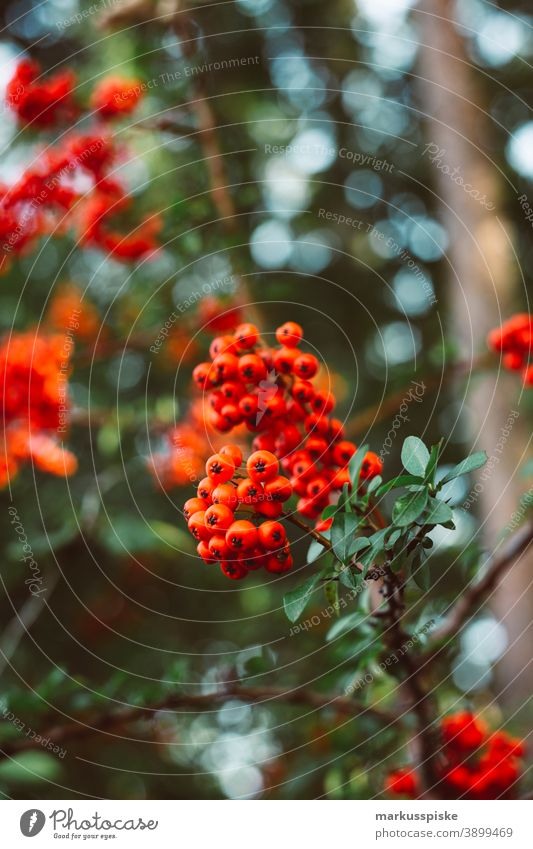 Vogelbeere schön Schönheit Farbenpracht Blütezeit Bokeh hell braun Haufen Nahaufnahme farbenfroh Landschaft Phantasie Flora geblümt Blume Blumen