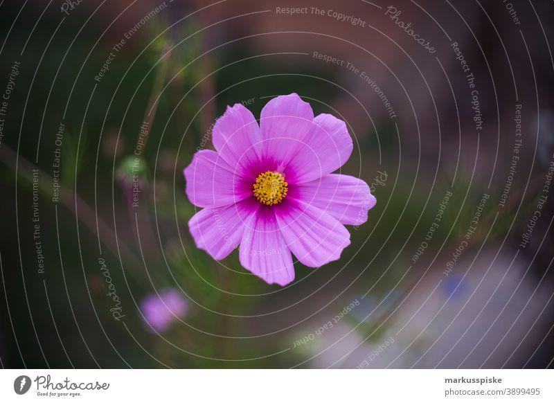 Haus Garten Rosa Blume schön Schönheit Farbenpracht Blütezeit Bokeh hell braun Haufen Nahaufnahme farbenfroh Landschaft Phantasie Flora geblümt Blumen