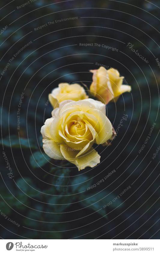Haus Garten Gelbe Rose Blume schön Schönheit Farbenpracht Blütezeit Bokeh hell braun Haufen Nahaufnahme farbenfroh Landschaft Phantasie Flora geblümt Blumen