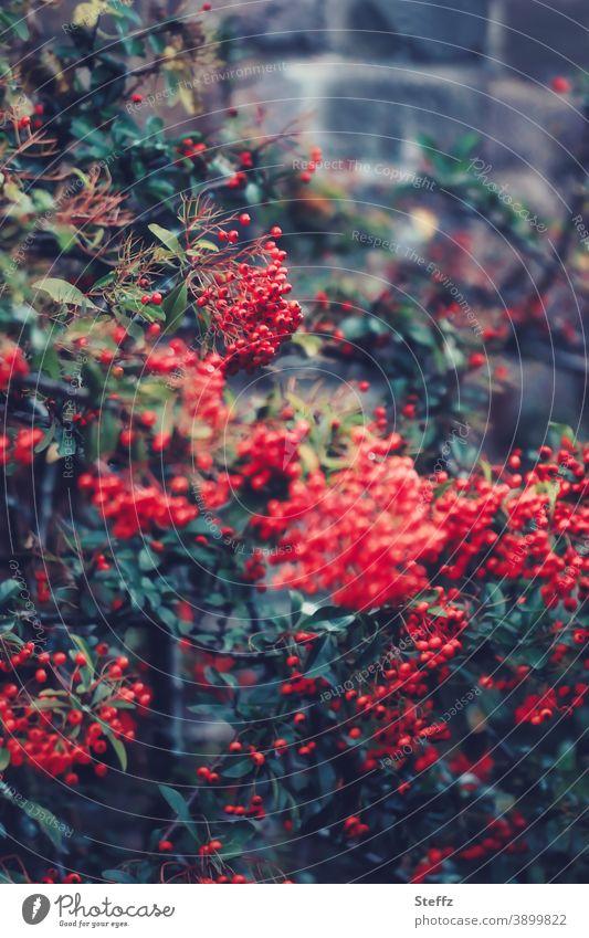 Feuerdorn im Herbstgarten Beerenstrauch Roter Feuerdorn feuerrot rote Beeren dunkelgrün Heckenpflanze Herbstbeeren Oktober Wildpflanze Strauch Pyracantha