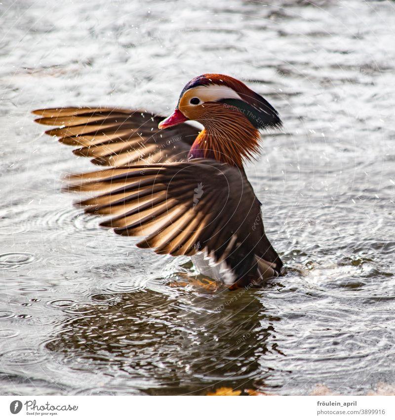 Flügeln - Mandarinenerpel Vogel Ente Erpel Mandarinente Federvieh Federn Tier Farbfoto Natur Außenaufnahme Schnabel Menschenleer Wildtier Tierporträt Tag 1