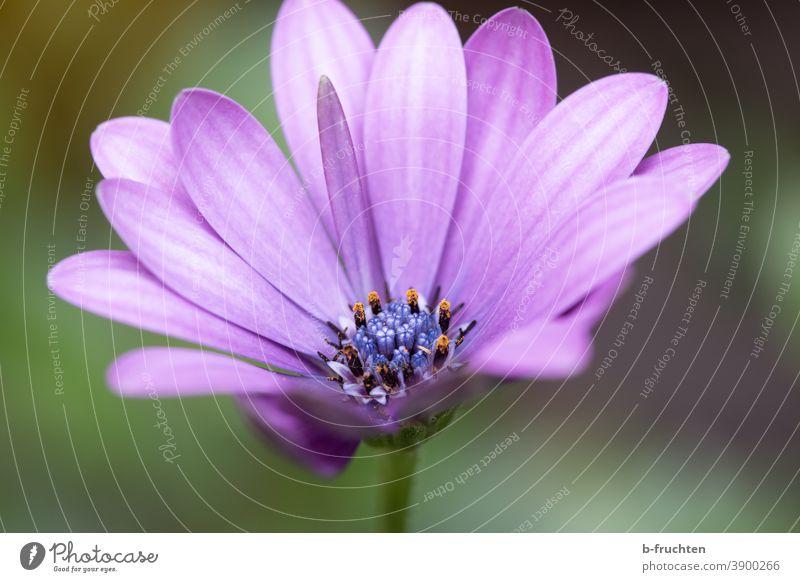 violette Blüte, Makroaufnahme Blume Pflanze Nahaufnahme Natur Blütenblatt Detailaufnahme Sommer schön Blühend Blatt Garten Schwache Tiefenschärfe