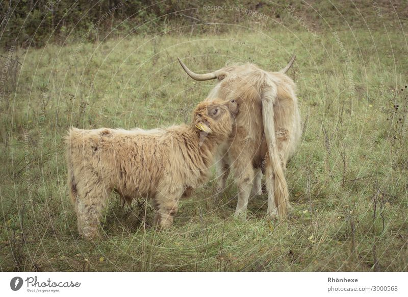 Schottisches Hochlandkälbchen schmust mit seiner Mama Schottisches Hochlandrind Nutztier Außenaufnahme Kuh Tierporträt Menschenleer Farbfoto Tag Fell Natur