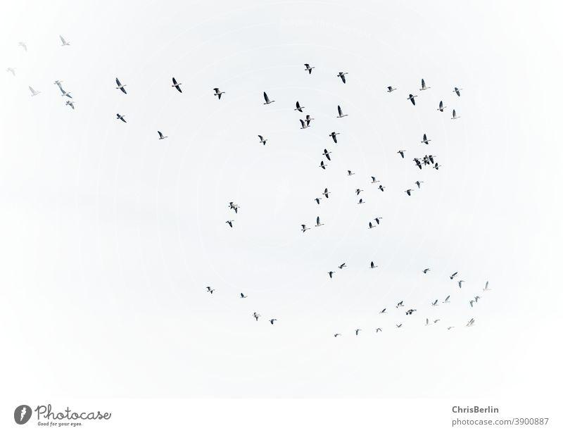 Gänse im Flug schwarz/weiß gänse Zugvogel Natur Vogel fliegen Himmel Außenaufnahme Wildtier Schwarm Freiheit Vogelschwarm Tiergruppe Umwelt Menschenleer Herbst