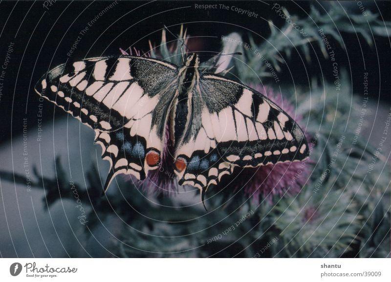 Schmetterling Schwalbenschwanz Natur Tier Insekt