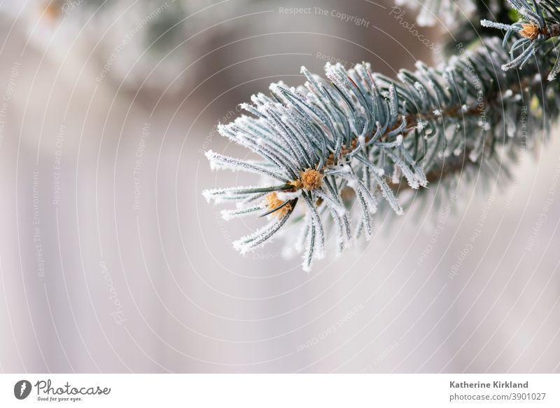 Frost auf blauen Fichtennadeln Schnee Eis kalt Winter Kiefer Tanne Immergrün weiß Saison saisonbedingt Weihnachten Feiertag Nadel Baum Wald Wälder Waldgebiet