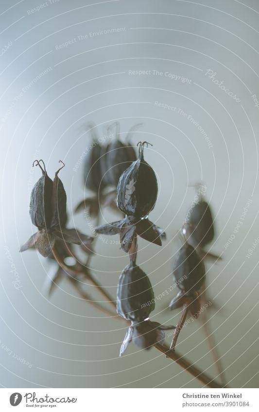 Verblühtes Johanniskraut mit dunklen trockenen Samenkapseln. Neutraler heller Hintergrund und schwache Tiefenschärfe verblüht Vergänglichkeit Herbst Natur