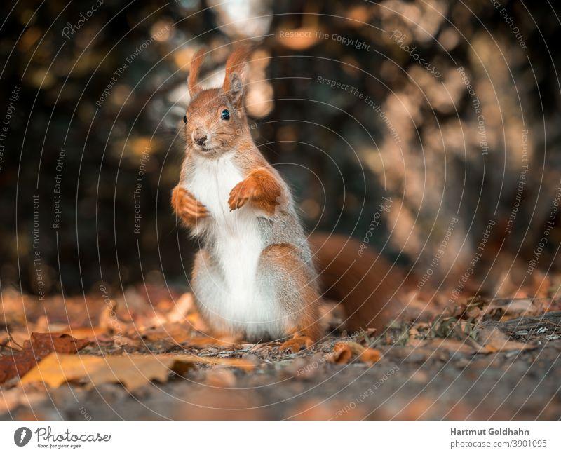 Nahaufnahme von einem aufrecht sitzenden rotbraunen Eichhörnchen, das auf dem Waldboden sitzt und in die Kamera blickt. Stufe rotes Eichhörnchen Nagetier