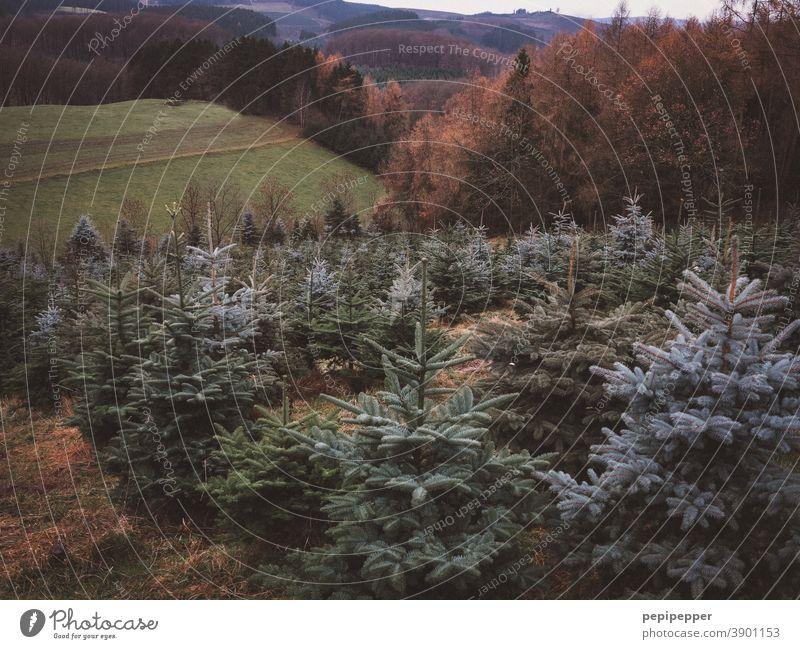 Weihnachtsbaum Schonung wachsen Wachstum Ernte Ackerbau Landwirtschaft Weihnachten & Advent Tannenbaum Lichtung weihnachtlich Christbaum Feste & Feiern grün