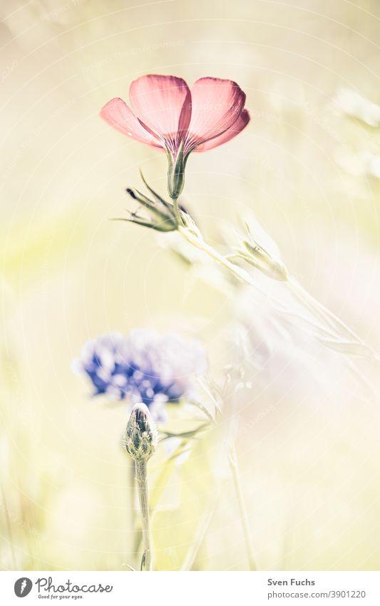 Blüte eines Storchenschnabels storchenschnabel blume blüte pflanze botanik botanisch flora rot grün nahaufnahme blühen pink natur aufblühen knabenkräuter