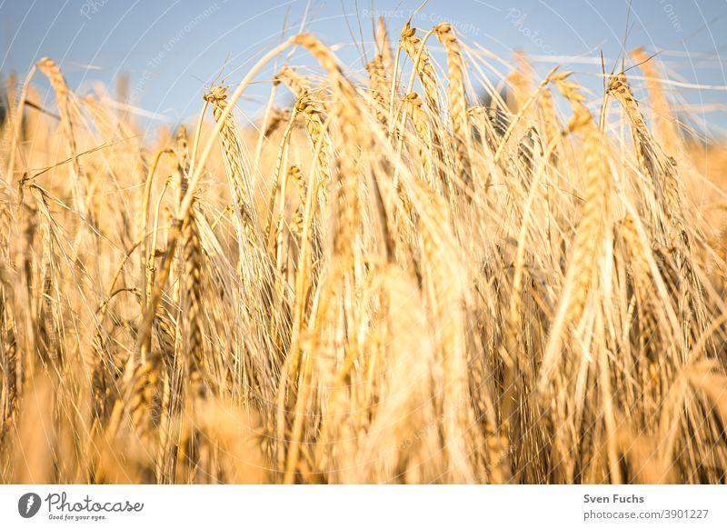 Getreidefeld im Licht der untergehenden Sonne roggen getreide rohstoff landwirtschaft stroh nachhaltig nahrung nahrungsmittel weizen ackerbau ernte himmel