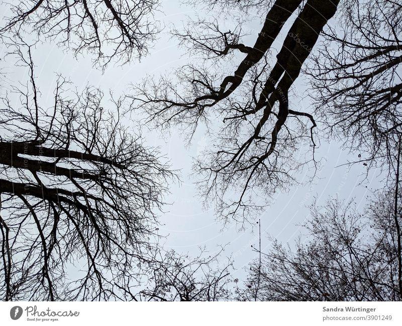 Kahle Baumkronen im Winter vor blauem Himmel Winterstimmung karg kahl kahle Bäume himmelblau Muster Blick nach oben Wald draußen Natur Außenaufnahme Umwelt