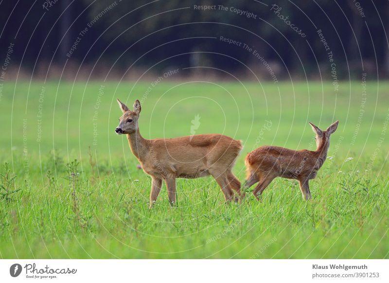 Ricke und Kitz beobachten aufmerksam die Umgebung Reh Wald Wiese Gras Fell Sommer Jagd Farbfoto menschenleer sichern Abend