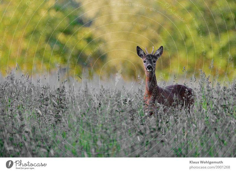 Junger Rehbock auf einer Waldwiese hat den Fotografen entdeckt. Jagd Wiese Sommer menschenleer braun grün grau gras Gehörn Fell sichern beobachten Augen