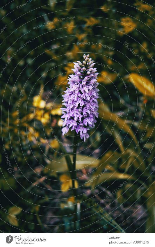 fliederfarbene Dactylorhiza-Blüte Farben Menschengruppe gefährdet Harmonie Ruhe Einheit Vitalität gepunktet selten filigran gefleckt magenta violett ornamental
