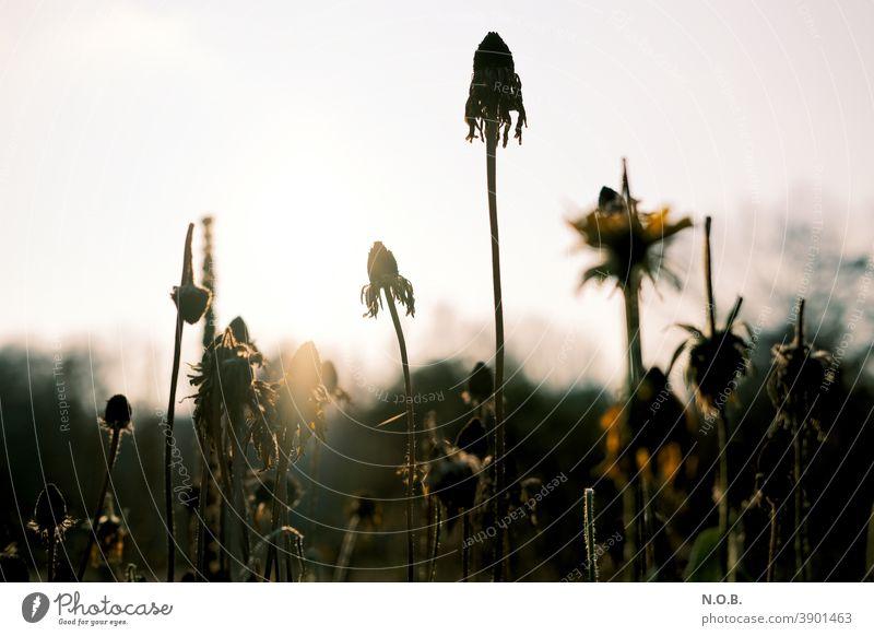 Verblühte Pflanzen Pflanzen und Blumen Natur Farbfoto Außenaufnahme Nahaufnahme Wiese Blüte Blühend natürlich Schwache Tiefenschärfe gelb Umwelt Menschenleer