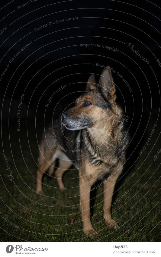Deutscher Schäferhund auf einer Wiese bei Nacht Hund Haustier Tier Farbfoto Tierporträt Außenaufnahme Fell niedlich Blick Menschenleer Wachsamkeit beobachten