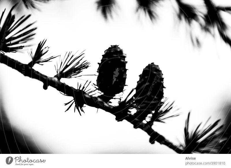 Kiefernzapfen im Gegenlicht Hintergrund Hintergrundbeleuchtung grün natürlich Natur Wald Baum Sommer Saison Park Holz schön Laubwerk Makro Nahaufnahme Pflanze