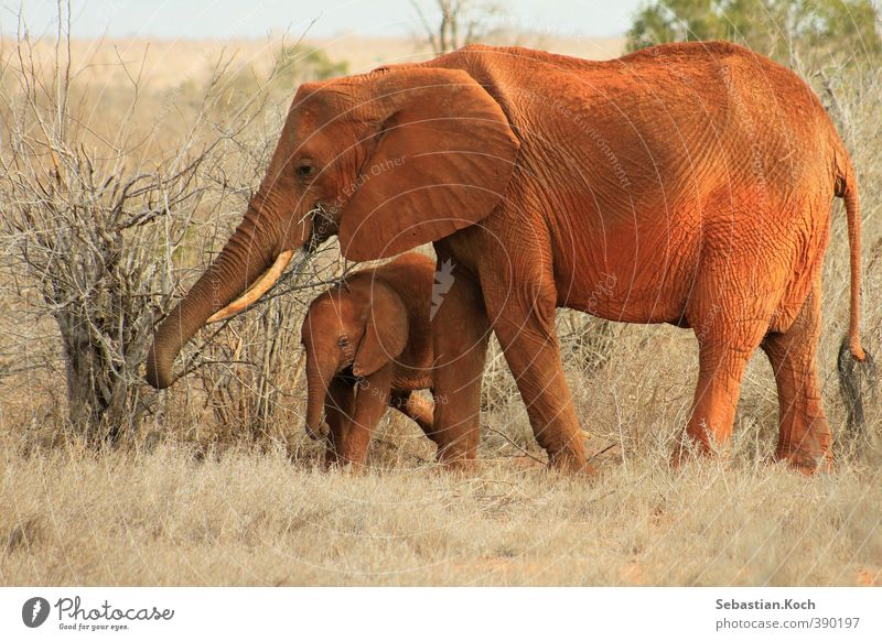 Mother and son Natur Pflanze Tier Sand Dürre Gras Sträucher Afrika Wüste Savanne Kenia Nationalpark Steppe Nutztier Wildtier Tiergesicht Elefant Elefantenbaby