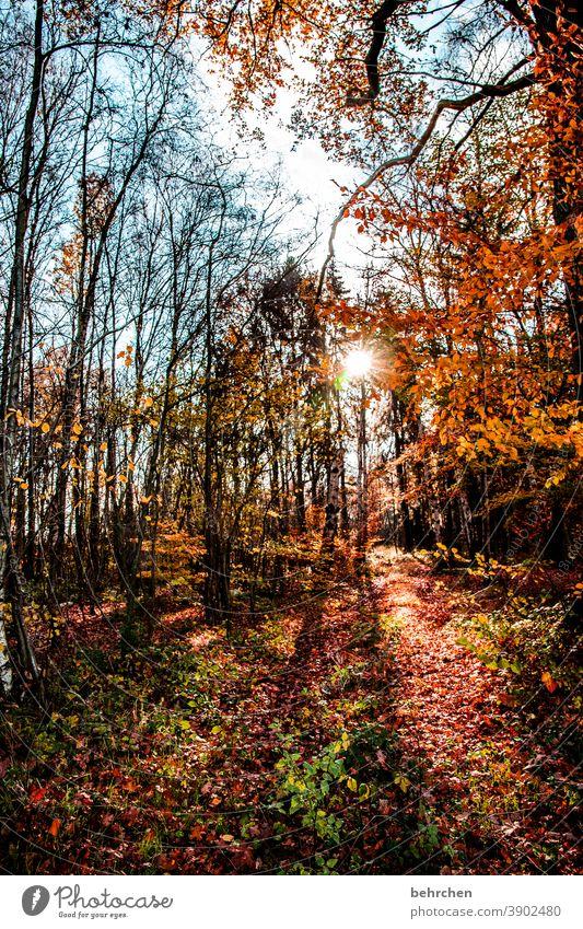 leuchtender herbst fallende Blätter Sonnenlicht Kontrast Licht Außenaufnahme Farbfoto Fußweg schön fantastisch Wald Sträucher Blatt Baum Pflanze Herbst