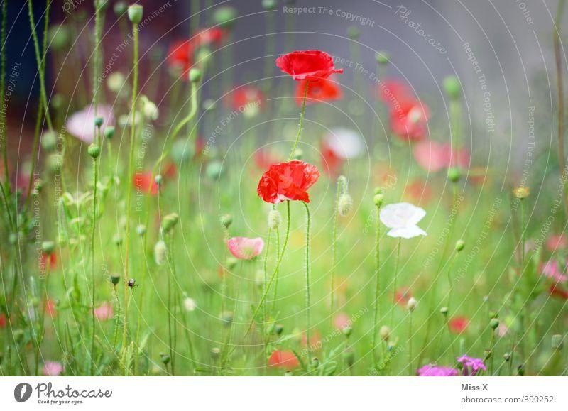 Mohnblumen Sommer Blume Wiese Gras Frühling Blüte Stimmung Feld Wachstum Blühend Duft verblüht Mohnfeld Mohnblüte Mohnkapsel