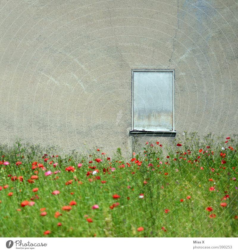 mohnfeld Blume Garten Menschenleer Ruine Mauer Wand Fenster Blühend alt wild Verfall Vergänglichkeit Unbewohnt wilder Garten verwildert bewachsen Farbfoto