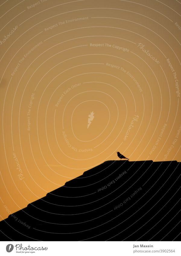Vogel im Abendlicht auf einem Hausdach Vogelbeobachtung Vogelgesang Gesang Gezwitscher singen Singvogel Amsel Dach dachpfannen Silhouette schwarz