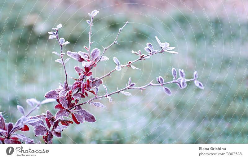 Rauhreif auf roten Blättern der Berberitze, Berberis. Erste Fröste. Früher Winter. Frost Blatt berberis gefroren berberis thunbergiii natürlich Hintergrund