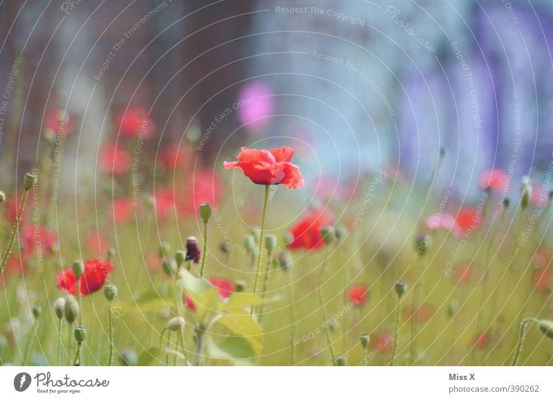 Mohn Pflanze Frühling Sommer Blume Blüte Garten Blühend rot Wachstum Mohnblüte Mohnfeld Blumenwiese Farbfoto mehrfarbig Außenaufnahme Nahaufnahme Menschenleer