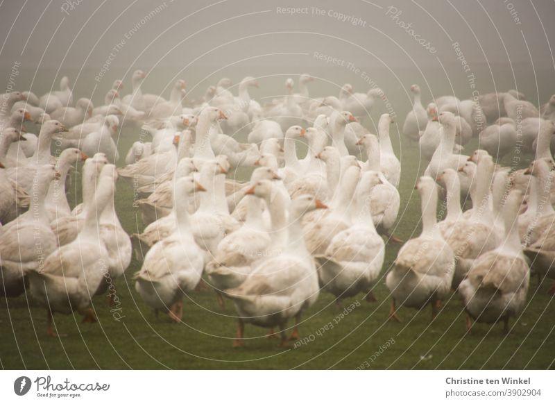 Viele weiße Gänse im Nebel auf einer Wiese / 2 Gans Gänsewiese Geflügel Geflügelfarm Geflügelhof Tier Vogel Nutztier Bauernhof Tierporträt Freilandhaltung