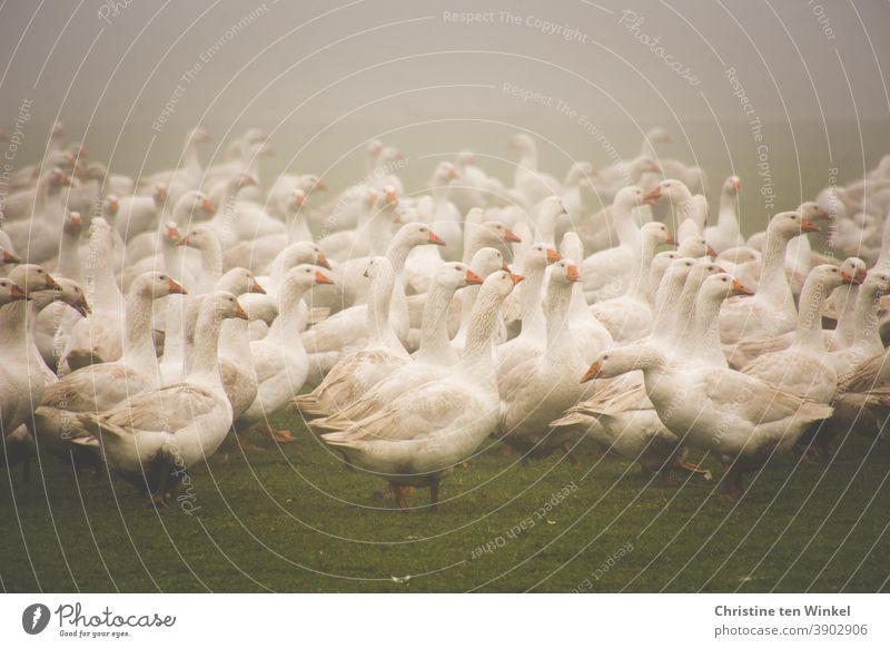Viele weiße Gänse im Nebel auf einer Wiese / 1 Gans Gänsewiese Geflügel Geflügelfarm Geflügelhof Tier Vogel Nutztier Bauernhof Tierporträt Freilandhaltung