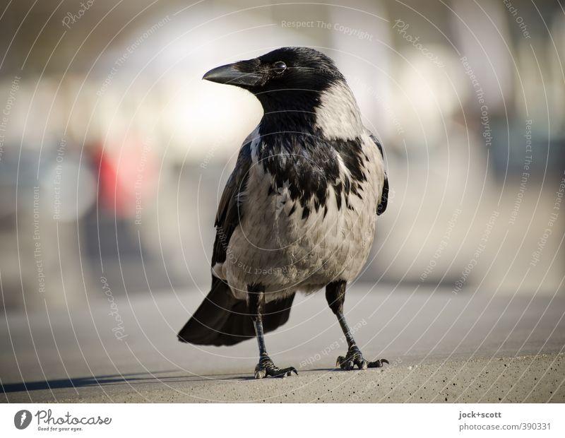 Krächzer Rabenvögel 1 Tier Beton beobachten stehen frei Neugier Stimmung Vertrauen Wachsamkeit klug Gelassenheit Schnabel Stele Standort Silhouette