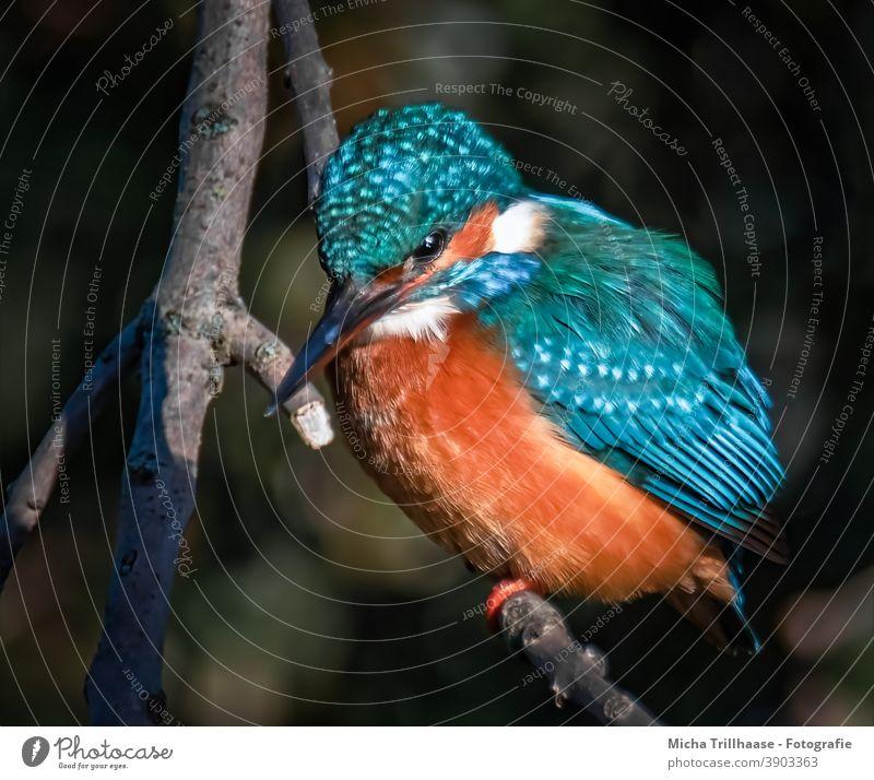 Eisvogel im Abendlicht Alcedo atthis Kopf Auge Schnabel Federn Gefieder Krallen Flügel Vogel Tier Wildtier Tierporträt Zweige u. Äste Natur leuchtend strahlen