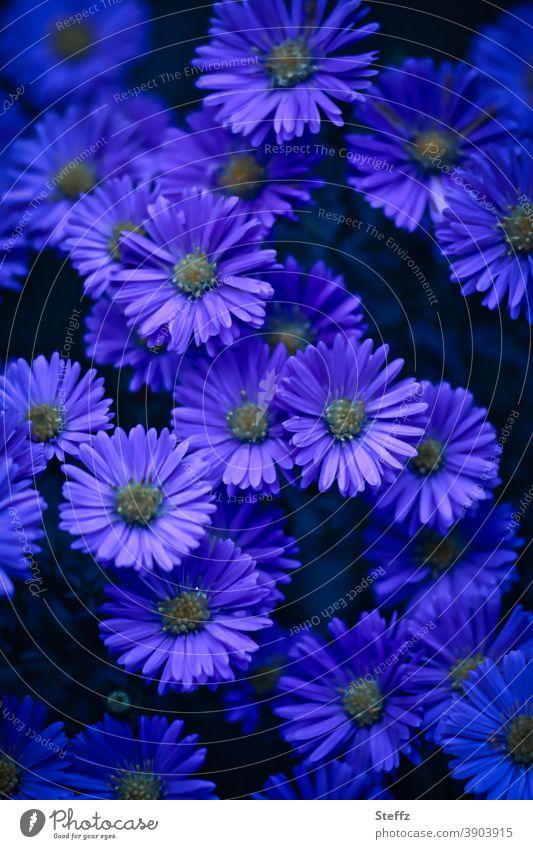 violette Stimmung für den Herbst Herbstastern Astern dunkelviolett violette Blumen violette Blütenblätter lila blühende Herbstblumen blühende Gartenblumen