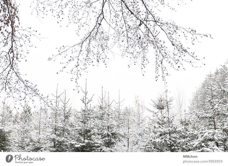 Verschneite Nadelbäume im Wald Weihnachten & Advent Tannenbaum Nadelbaum Schnee Winter weiß kalt weihnachtlich Tradition Fichte Plantage Natur Weihnachtsbaum