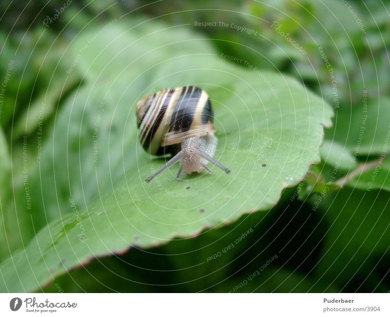 Schnecke auf Blatt Blatt klein Verkehr Schnecke Fühler frontal langsam