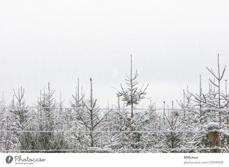 Nadelbäume hinter Zaun in einer Plantage Winter Nadelbaum Schnee Weihnachtsbaum Natur Fichte Tanne Tannenbaum Weihnachten weihnachtlich Weihnachtsdekoration