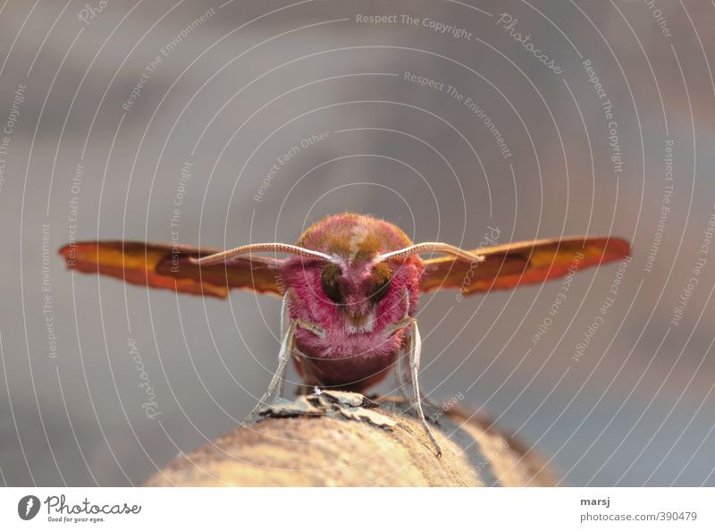 Großer Brummer gelandet Tier Wildtier Tiergesicht Flügel Schmetterling Insekt Fühler Auge 1 beobachten Erholung krabbeln stehen außergewöhnlich bedrohlich