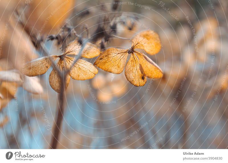 Verblühte Blütenblätter einer Hortensie mit weichem Hintergrund Schwache Tiefenschärfe Hortensienblüte Blume Winter Herbst Pflanze Natur Beerdigung Trauerfeier